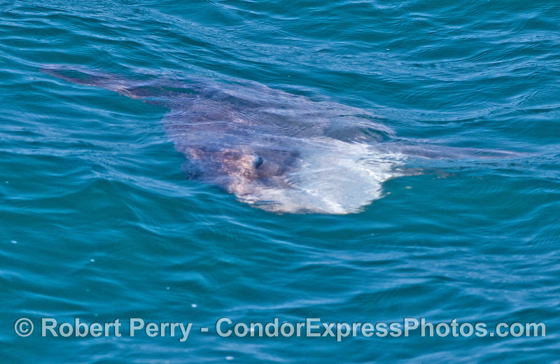 A large ocean sunfish (<em>Mola mola</em>) seen just under the water.