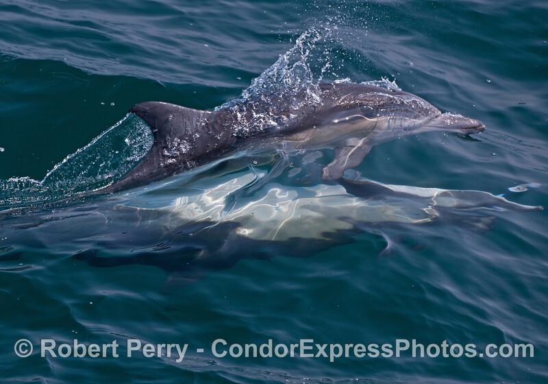 Two common dolphins (<em>Delphinus capensis</em>) mating.