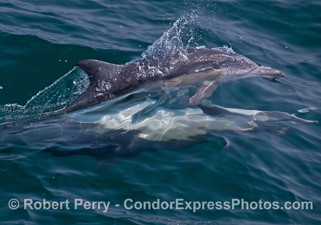 Two common dolphins (Delphinus capensis) mating.