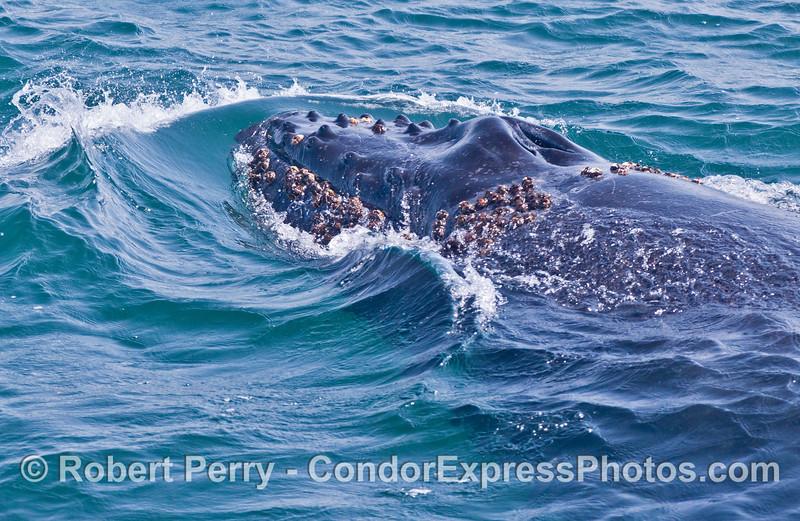 The barnacle covered head of a very young humpback whale (<em>Megaptera novaeangliae</em>).