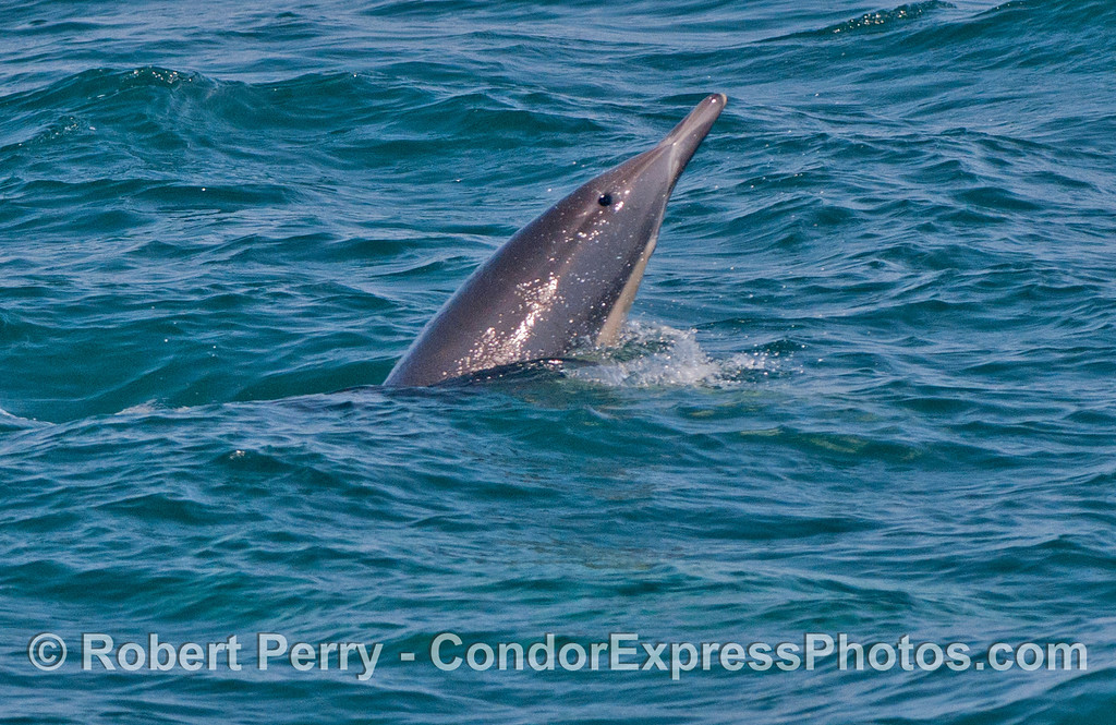 A rare spy hopping common dolphin (<em>Delphinus capensis</em>).