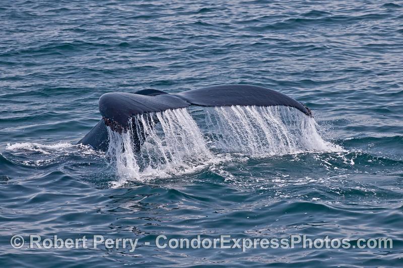A humpback whale (<em>Megaptera novaeangliae</em>) tail.