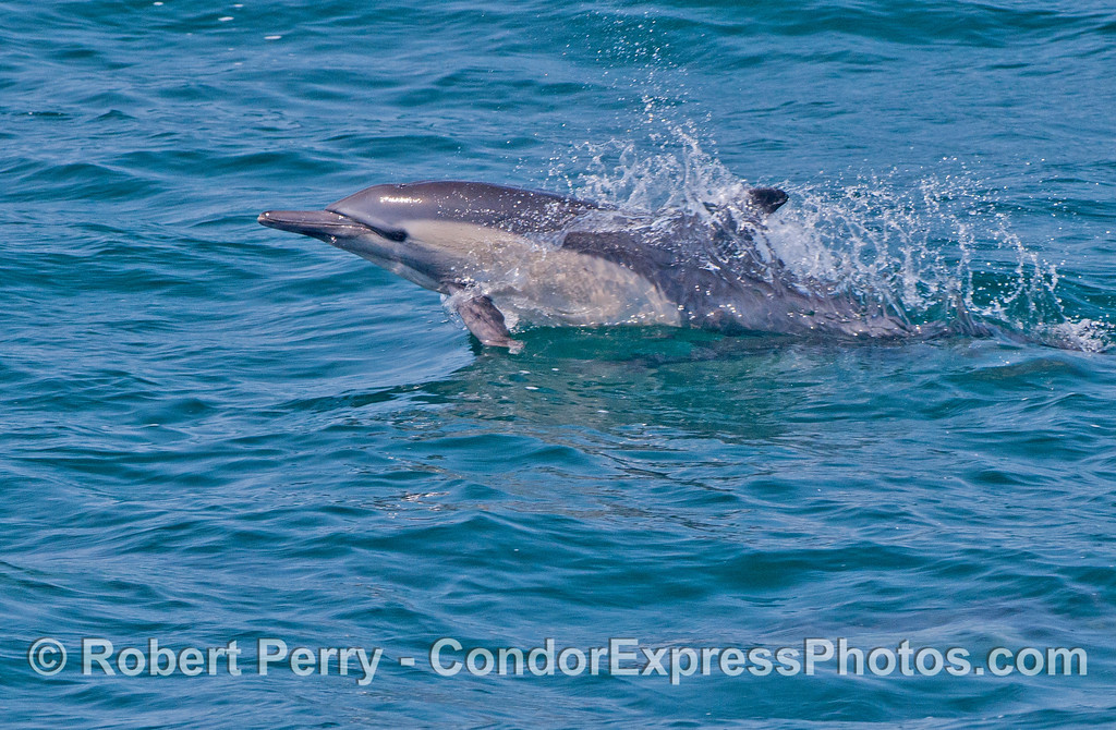 A common dolphin (<em>Delphinus capensis</em>) shoots out of the water like a missile.