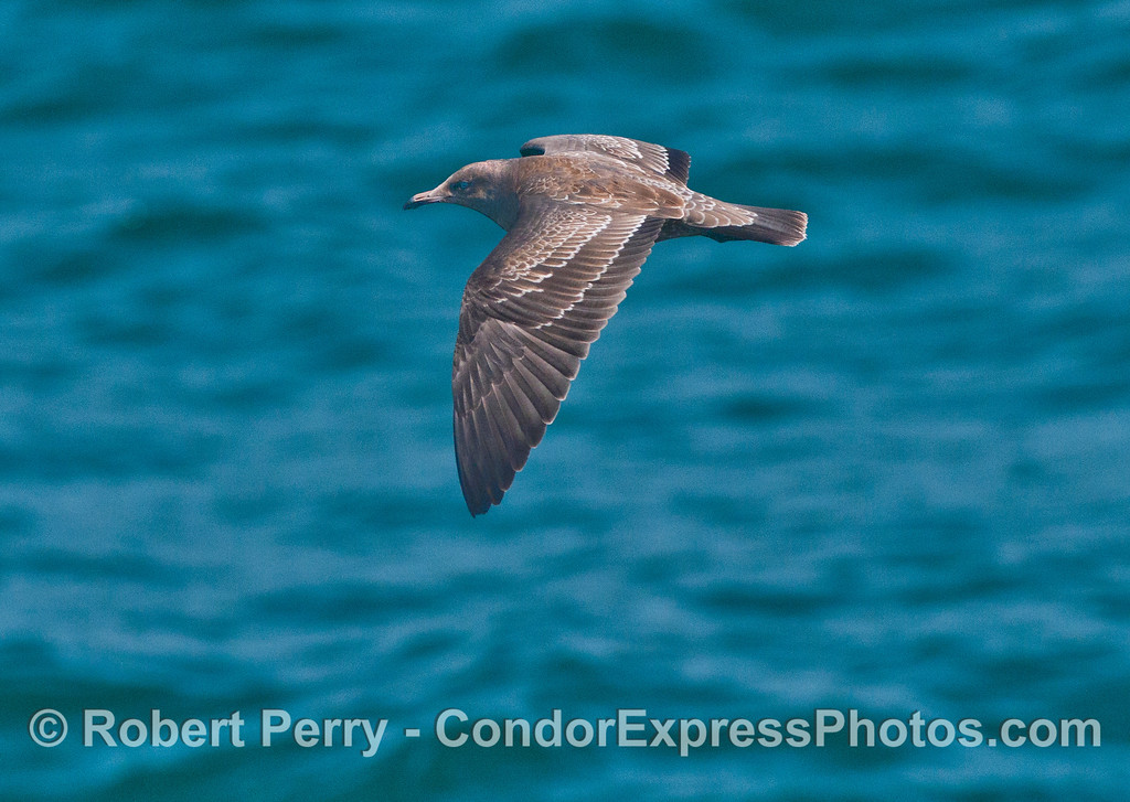 A juvenile Heermann's gull (<em>Larus heermanni</em>) in flight.
