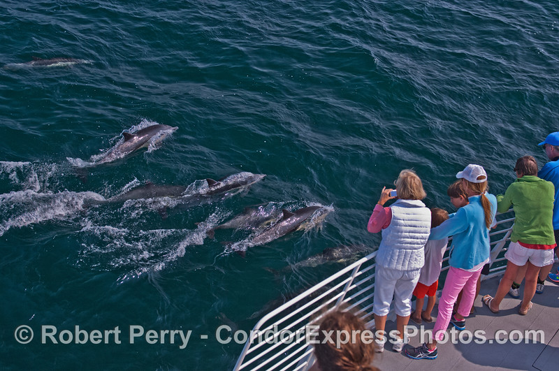 Common dolphins (<em>Delphinus capensis</em>) pay a visit to the Condor Express.