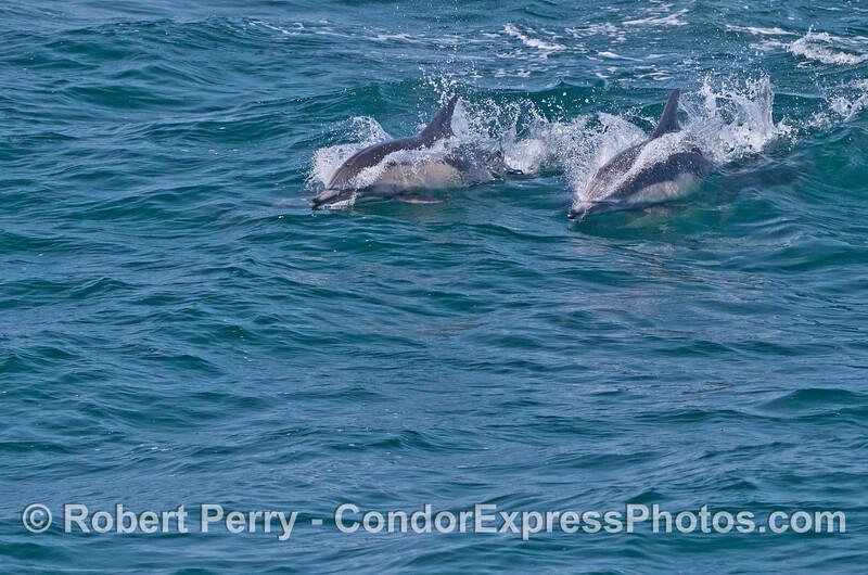 Two common dolphins (<em>Delphinus capensis</em>).