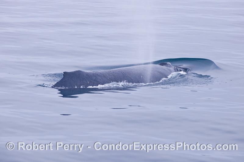 A humpback whale (<em>Megaptera novaeangliae</em>).