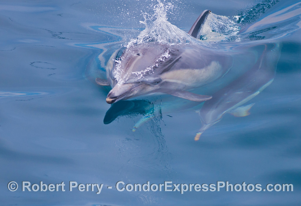 A head-on look at a common dolphin (<em>Delphinus capensis</em>).