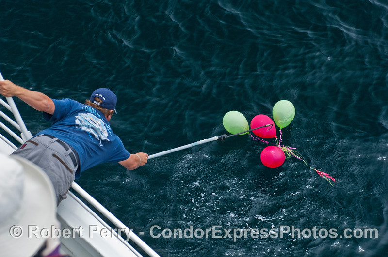 Condor Express deck hand Eric works to remove dangerous balloon debris from the pristine waters of the Santa Barbara Channel.  This is where helium filled balloons end their lives and help pollute the environment.
