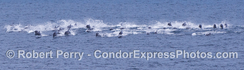 A panorama picture of a pod of common dolphins (<em>Delphinus capensis</em>) moving at a high speed.