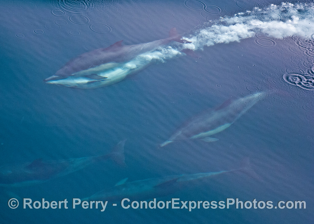 Second of two images of common dolphins (<em>Delphinus capensis</em>) mating -- the rocket relationship.