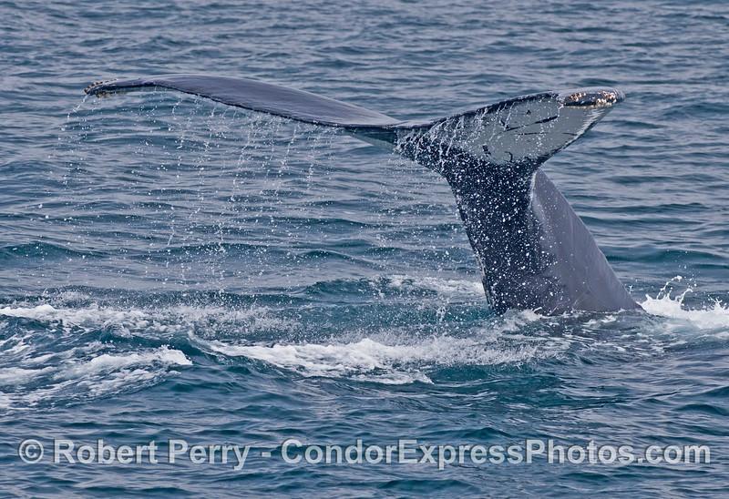 Tail flukes of a humpback whale (<em>Megaptera novaeangliae</em>)