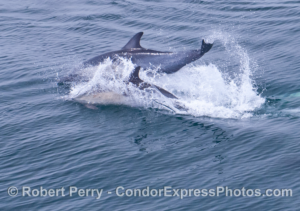 A tail slapping common dolphin (<em>Delphinus capensis</em>).