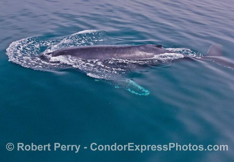 Image 1 of 3:  A humpback whale (<em>Megaptera novaeangliae</em>) begins a deep dive in clear water.