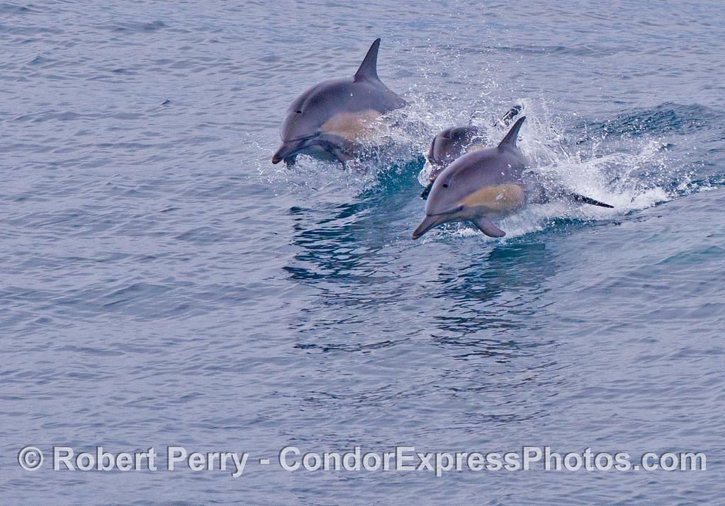 Leaping common dolphins (<em>Delphinus capensis</em>).