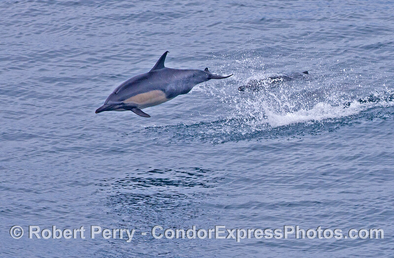 A leaping common dolphins (<em>Delphinus capensis</em>).
