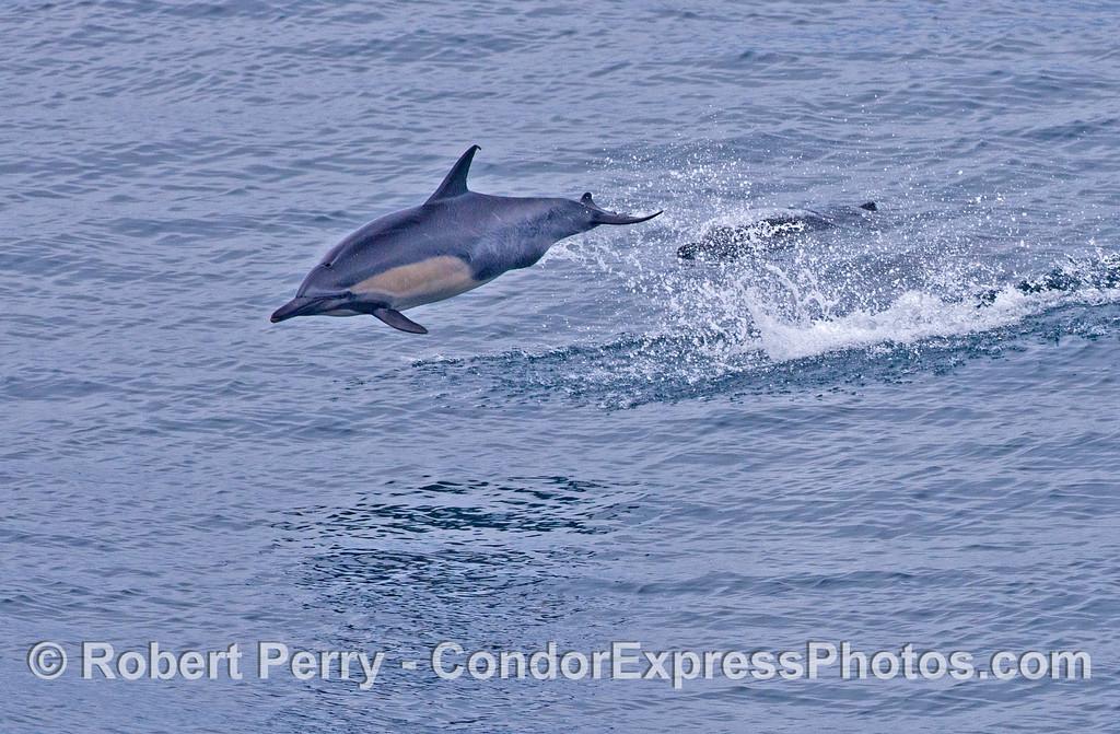 A leaping common dolphins (<em>Delphinus capensis</em>).
