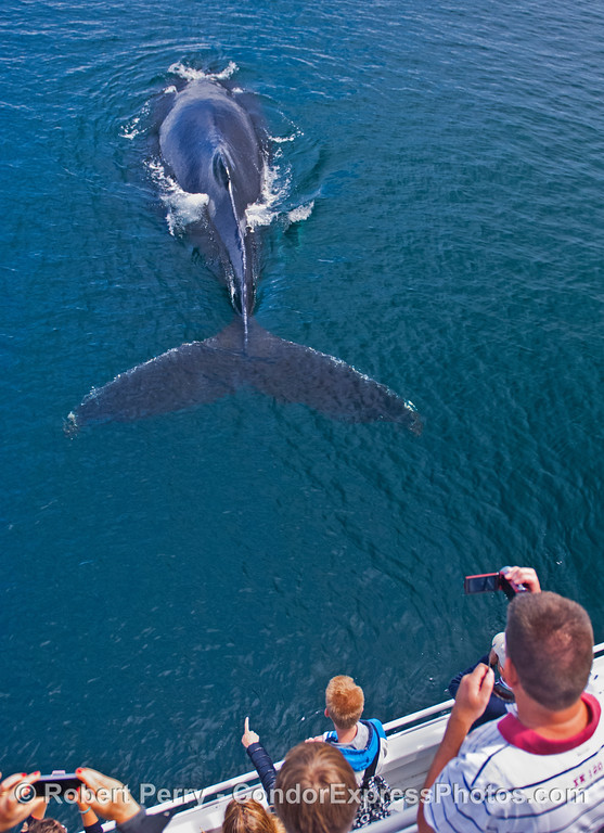 An extremely friendly humpback whale (<em>Megaptera novaeangliae</em>).