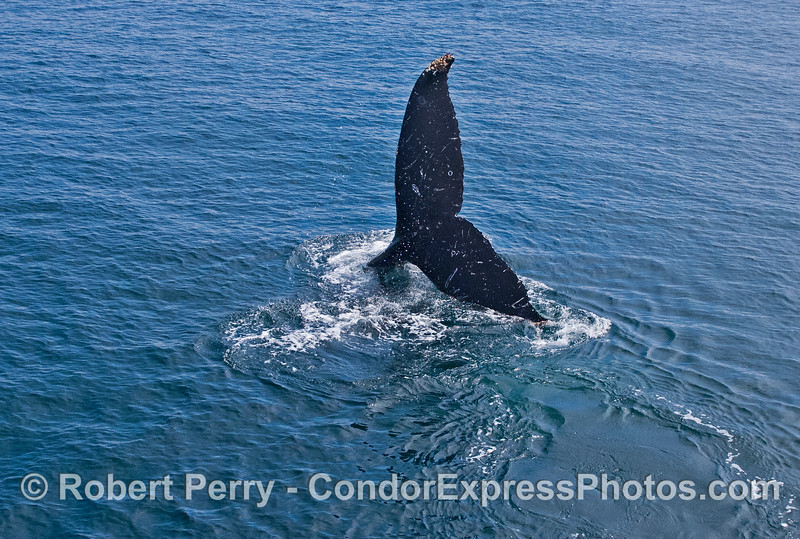 The sideways tail flukes of a humpback whale (<em>Megaptera novaeangliae</em>) that is banking a turn as it descends.