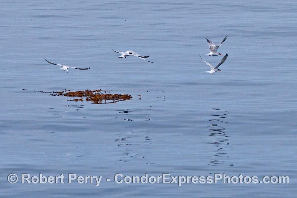 A group of elegant terns (<em>Sterna elegans</em>) take flight from a small drifting paddy of giant kelp (<em>Macrocystis pyrifera</em>).