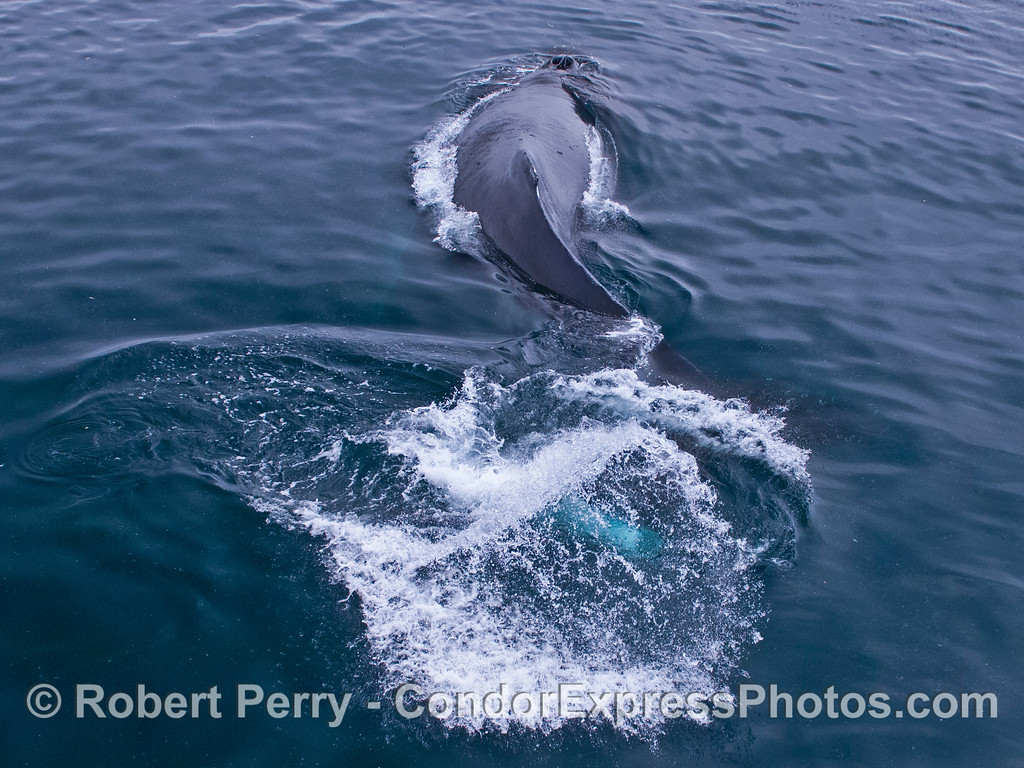 An extremely friendly humpback whale (<em>Megaptera novaeangliae</em>) swipes its tail from side to side.