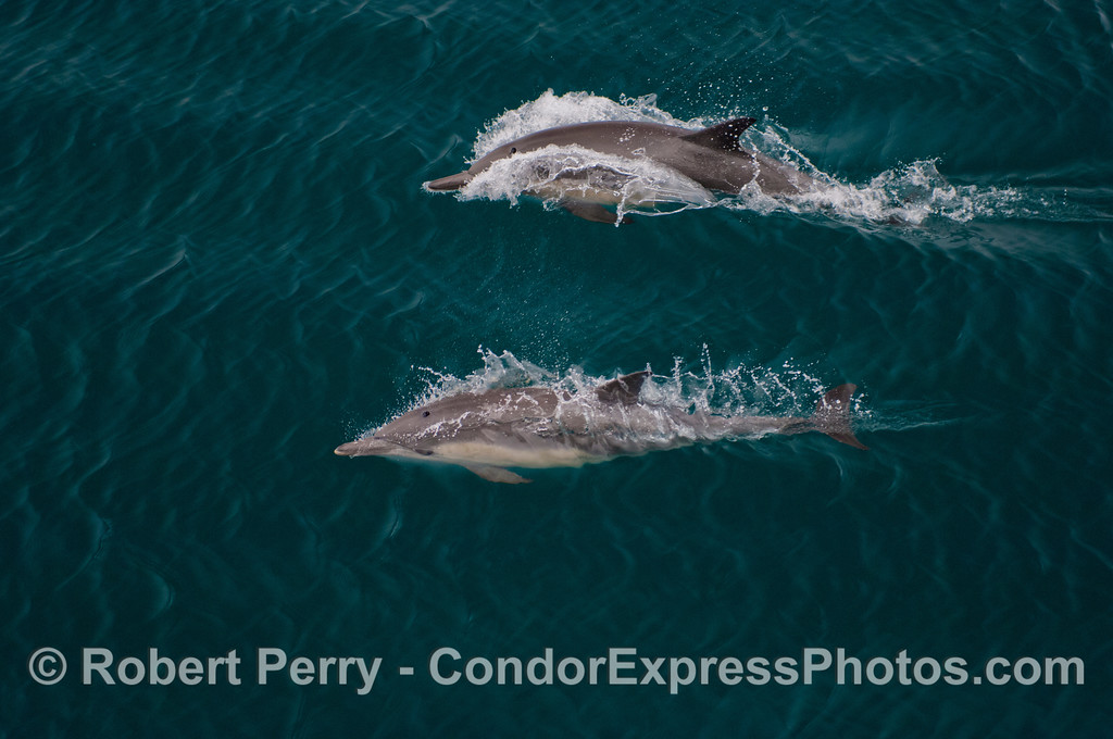 Two common dolphins (<em>Delphinus capensis</em>).