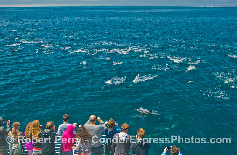 A large pod of common dolphins (<em>Delphinus capensis</em>) come to visit the Condor Express.