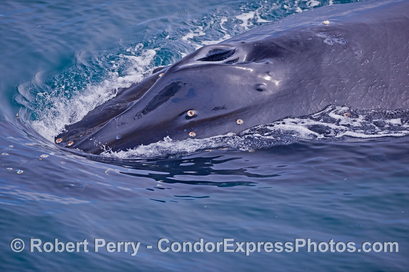An extremely friendly humpback whale (<em>Megaptera novaeangliae</em>) begins its dive...as seen close up.