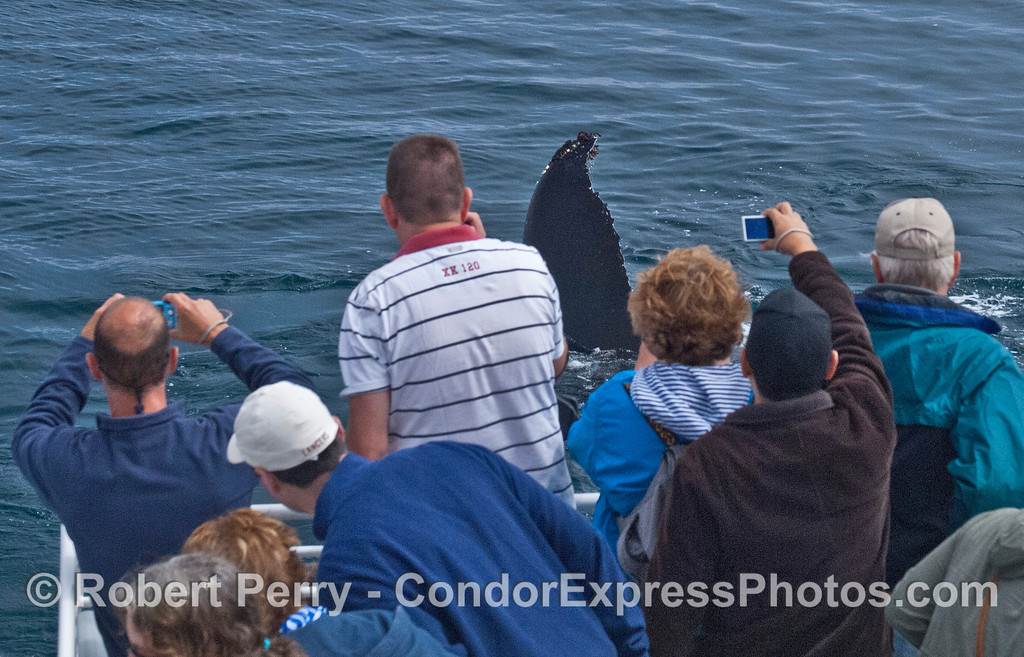 An extremely friendly humpback whale (<em>Megaptera novaeangliae</em>) shows off its massive tail fluke.