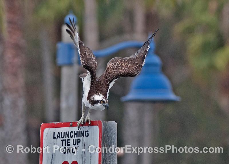 An adult osprey or sea hawk (<em>Pandion haliaetus</em>) takes flight from its perch on a sign in Santa Barbara Harbor.