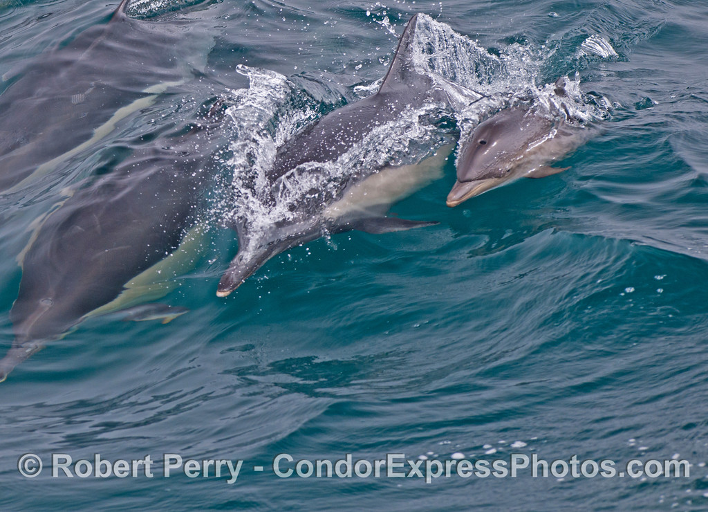 A mother common dolphin (<em>Delphinus capensis</em>) and her calf ride a wave.