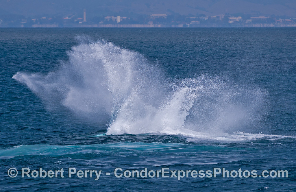 Image 2 of 2:  A humpback whale (<em>Megaptera novaeangliae</em>) throws its mighty tail and makes a big splash.  UCSB can be seen in the background.