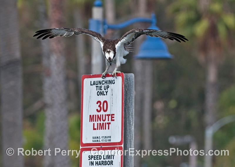 An adult osprey or sea hawk (<em>Pandion haliaetus</em>) reads the boat launching sign in Santa Barbara Harbor.