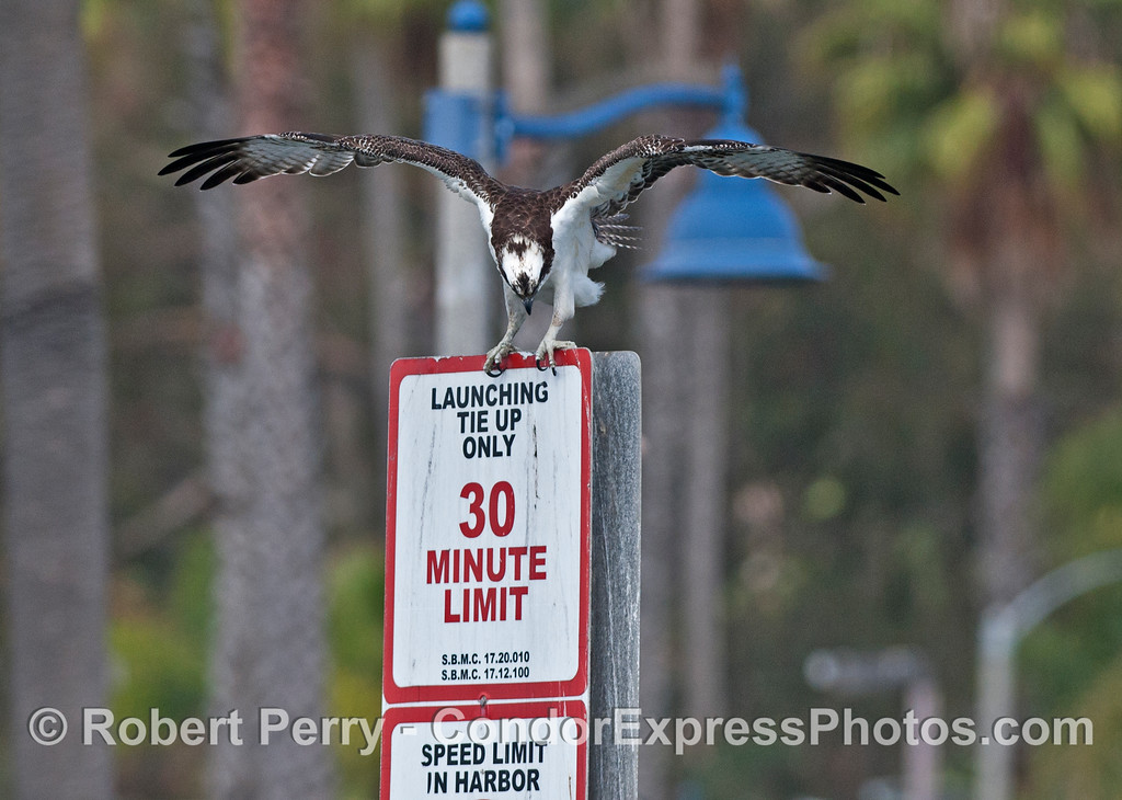 An adult osprey or sea hawk (<em>Pandion haliaetus</em>) reads the boat launching sign in Santa Barbara Harbor.