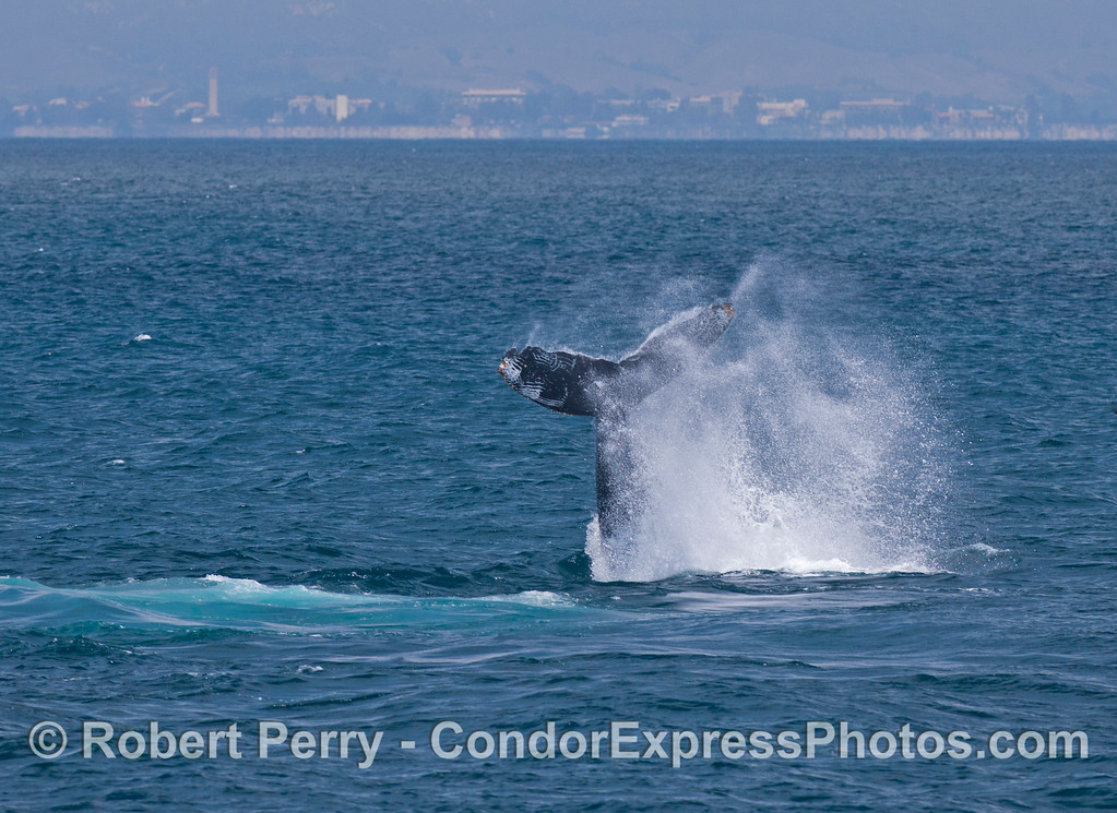"Image 1 of 2:  A humpback whale (Megaptera novaeangliae) throws its mighty tail and makes a big splash.  It's tail flukes show characteristic ""rake marks"" of a killer whale (Orcinus orca) interaction.  UCSB can be seen in the background."