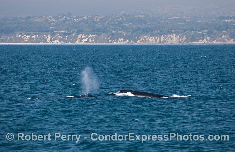 Two humpback whales (<em>Megaptera novaeangliae</em>) very close to shore.