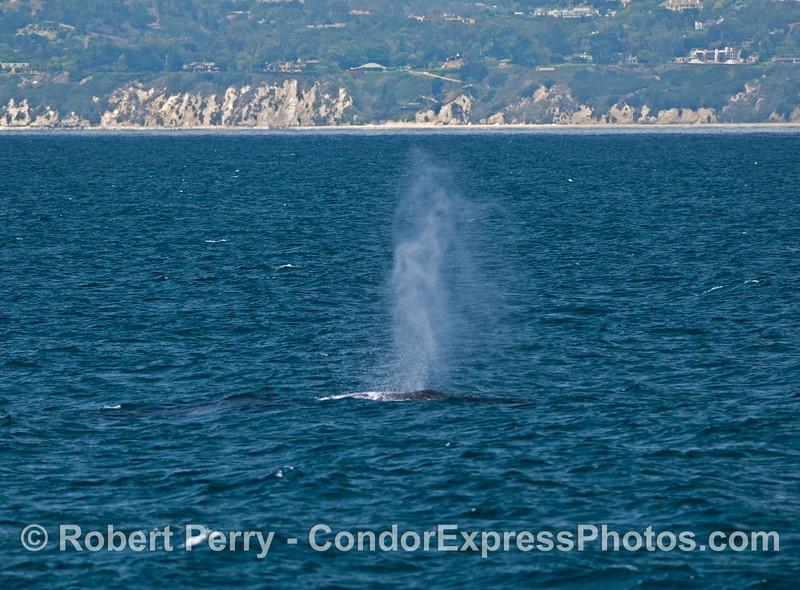 A humpback whale (<em>Megaptera novaeangliae</em>) with the western Santa Barbara coastline seen in back.
