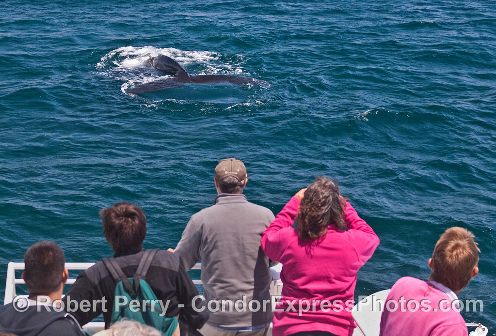 A friendly humpback whale (<em>Megaptera novaeangliae</em>) shows its flukes.