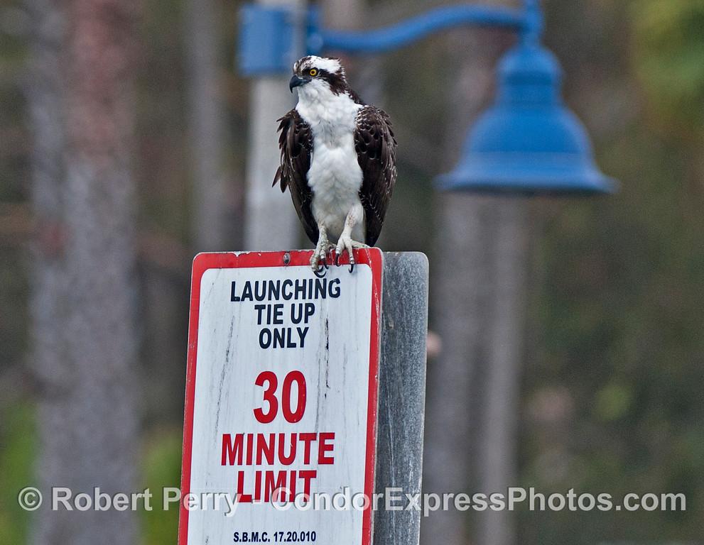 An adult osprey or sea hawk (<em>Pandion haliaetus</em>) perched on a sign in Santa Barbara Harbor.