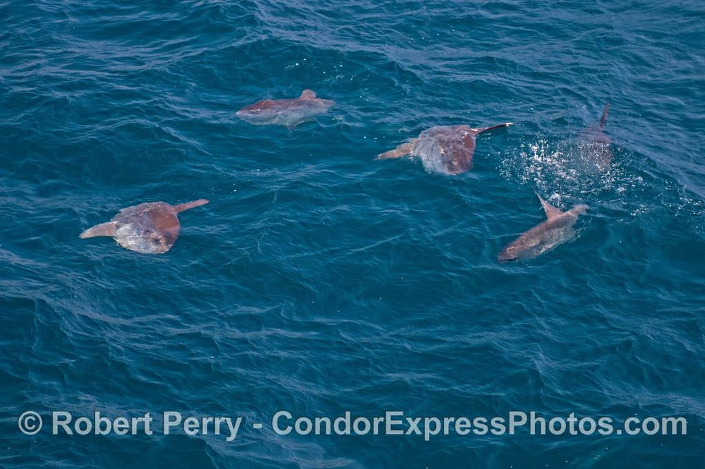 Five ocean sunfish (<em>Mola mola</em>).