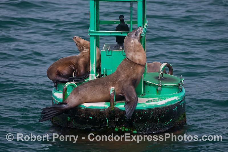 Zalophus californianus neclace entanglement on buoy 2013 07-25 SB Harbor-007