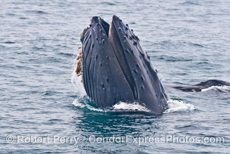 """Rope"" the humpback (<em>Megaptera novaeangliae</em>) shows us her baleen."