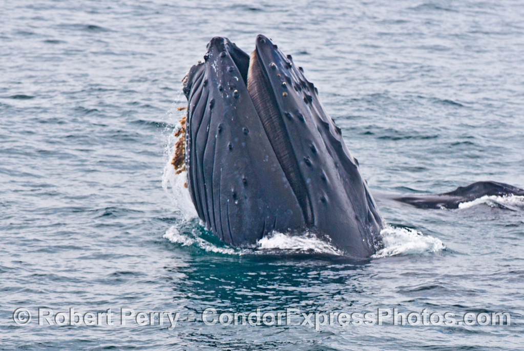 """Rope"" the humpback (Megaptera novaeangliae) shows us her baleen."