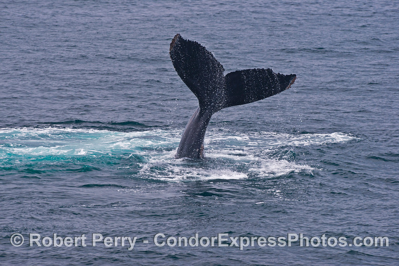 A humpback whale (<em>Megaptera novaeangliae</em>) shows us its tail high in the sky.