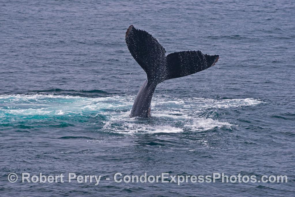 A humpback whale (<em>Megaptera novaeangliae</em>) shows us its tail high in the sky.