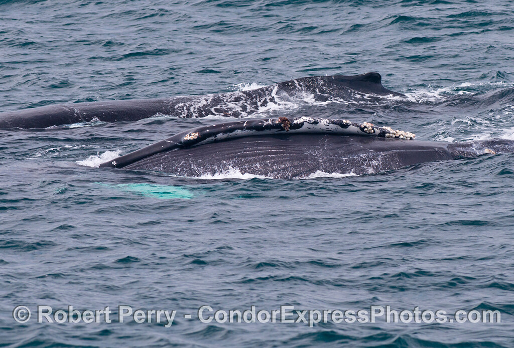 Sideways, a humpback whale (<em>Megaptera novaeangliae</em>) with friend.