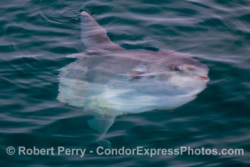 An ocean sunfish (<em>Mola mola</em>).