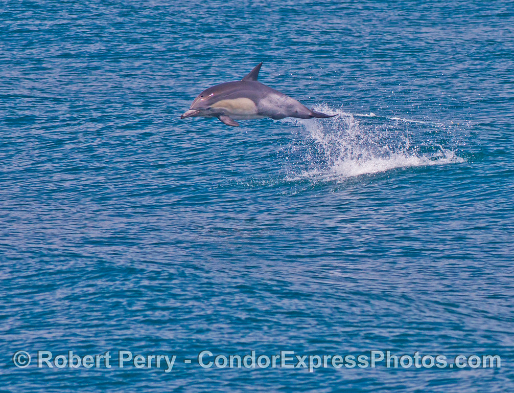 A common dolphin (<em>Delphinus capensis</em>) leaps high in the air.