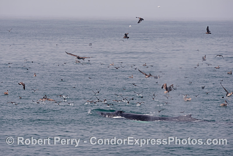 A humpback whale (<em>Megaptera novaeangliae</em>) scatters the seabirds.