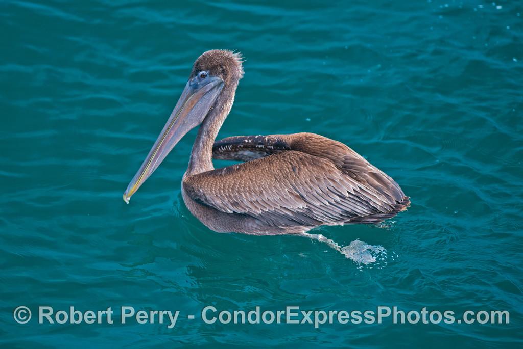 A young brown pelican (<em>Pelecanus occidentalis</em>).